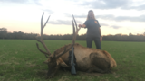 Elk Bull harvested by Vicky Jones at Circle E Ranch in Texas